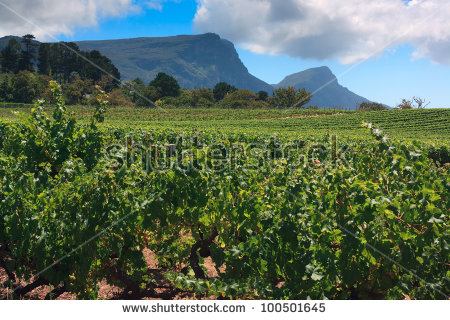 Vineyards Of Groot Constantia, Western Cape, South Africa. Table.