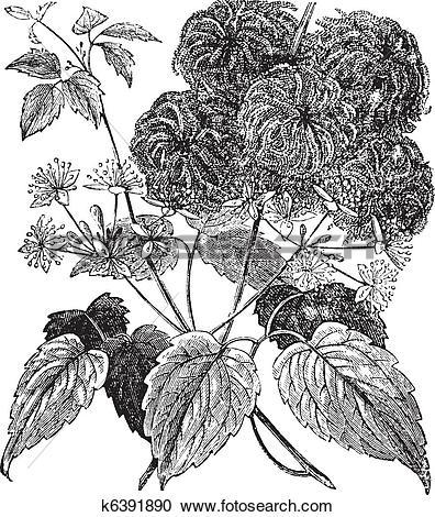 Clipart of Devil's Darning Needles or Devil's Hair or Love Vine or.