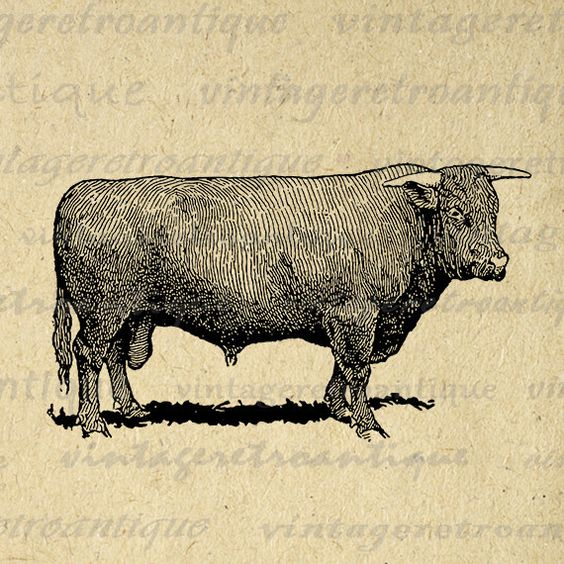 Printable Devon Bull Cow Digital Download Farm Animal Graphic.