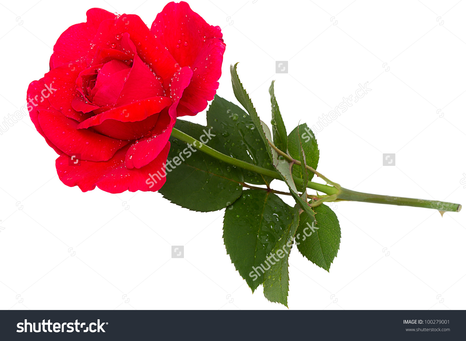 Single Red Rose Dew Drops Isolated Stock Photo 100279001.