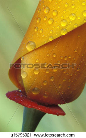 Stock Photography of Dew Drops on a Fresh Flower Bud u15795021.