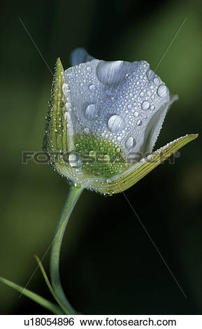 Stock Images of Flower Covered In Dew Drops u18054896.