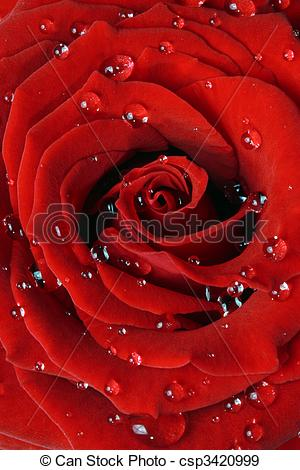 Stock Photographs of Red rose with dew drops.