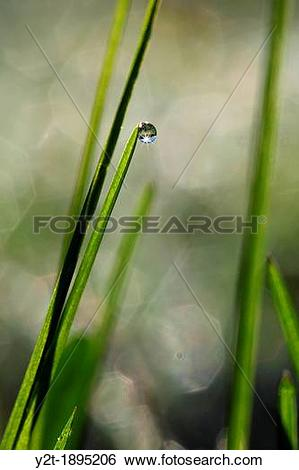 Stock Images of Dew drop clinging to a blade of grass.