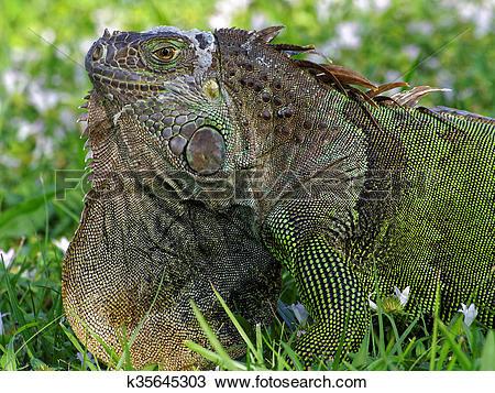 Stock Photo of Molting Green Iguana in Grass Orange Dewlap on.
