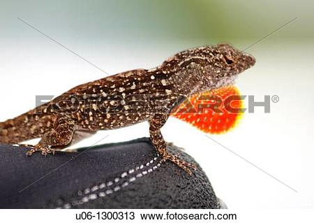 Stock Photo of A male anole lizard displaying his red dewlap to.