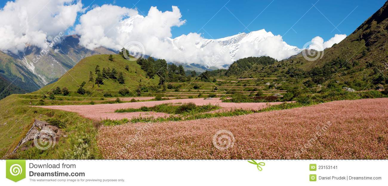 Dhaulagiri Himal With Buckwheat Field Stock Image.