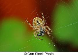 Stock Photos of European garden spider (Araneus diadematus.