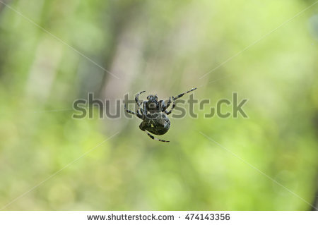 Cross Orbweaver Stock Photos, Royalty.