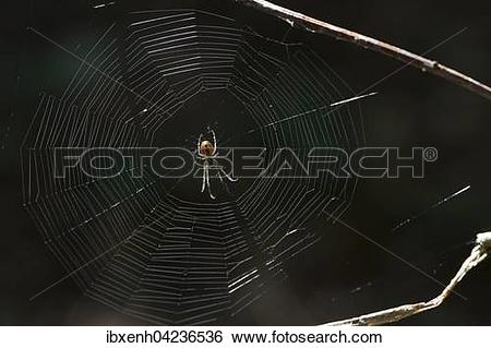 Stock Images of European garden spider (Araneus diadematus) in its.