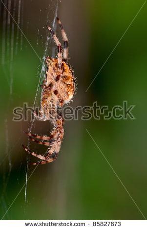 Araneus Diadematus Stock Photos, Royalty.