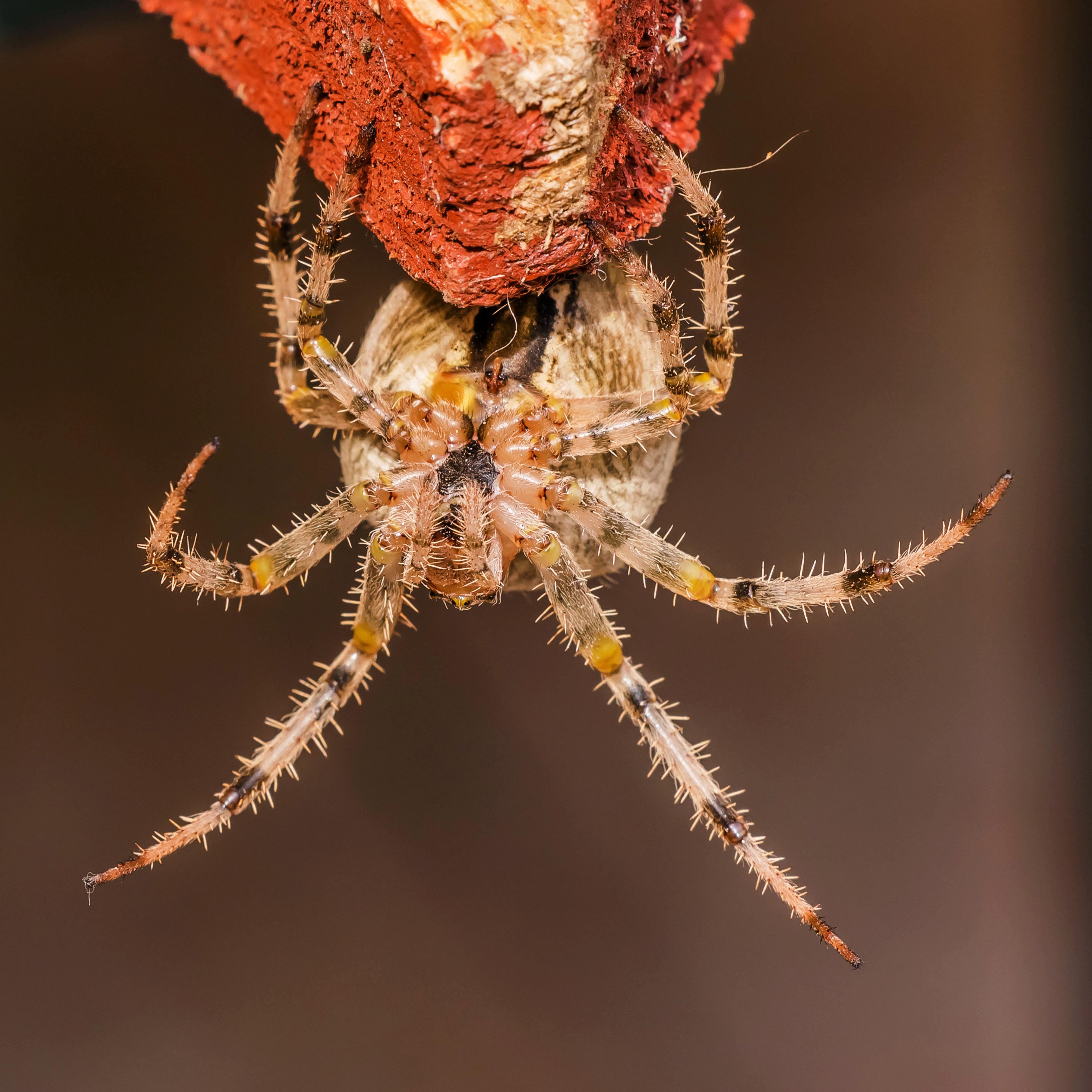 European Garden Spider.