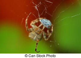 Stock Photos of European garden spider (Araneus diadematus.