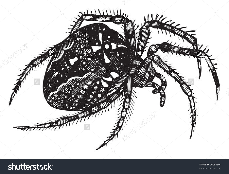 European Garden Spider Cross Spider Araneus Stock Vector 96055604.