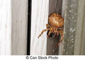 Pictures of European garden spider (Araneus diadematus).