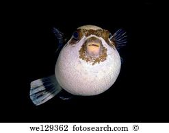 Blowfish Stock Photos and Images. 359 blowfish pictures and.