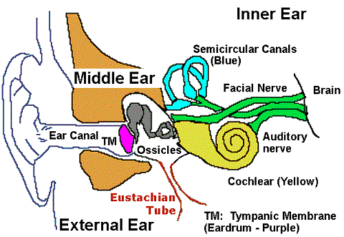 Ear diagram clip art.