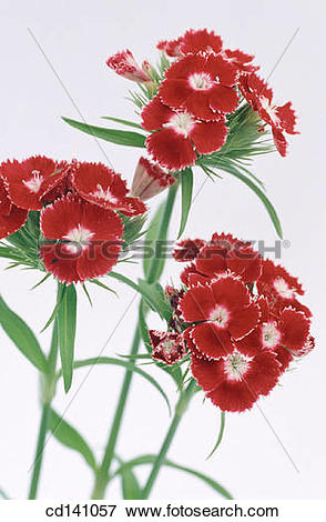 Picture of Sweet William (Dianthus barbatus) cd141057.