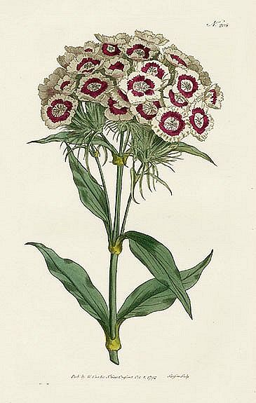 Sweet William, Dianthus barbatus (plate 207), from the William.