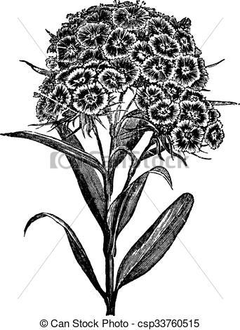 Vector Clip Art of Carnation Barbu (Dianthus barbatus) or Sweet.