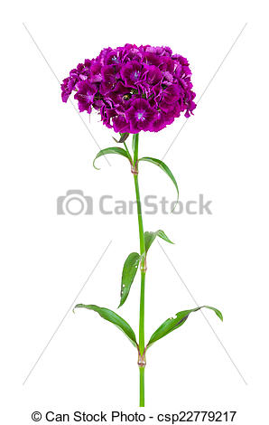 Stock Photography of Dianthus barbatus flower isolated on white.