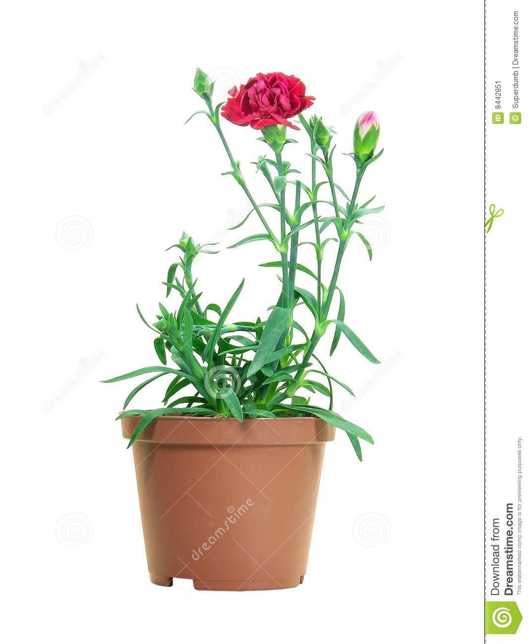 Dianthus Caryophyllus Stock Image.