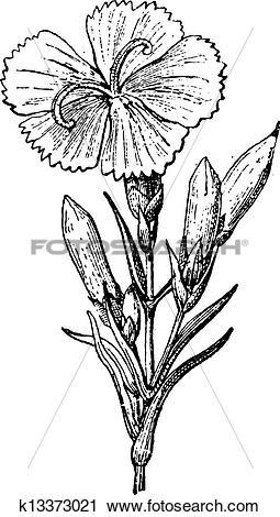 Clipart of Wild Carnation or Dianthus caryophyllus, vintage.