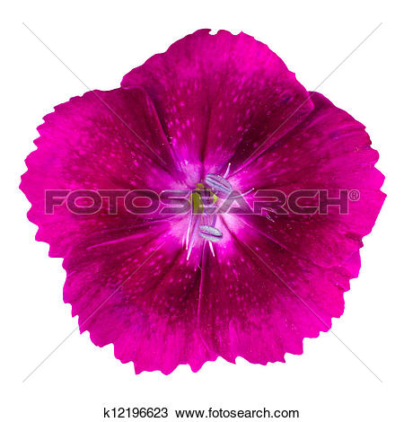 Stock Photo of Cute purple dianthus carnation flower isolated.