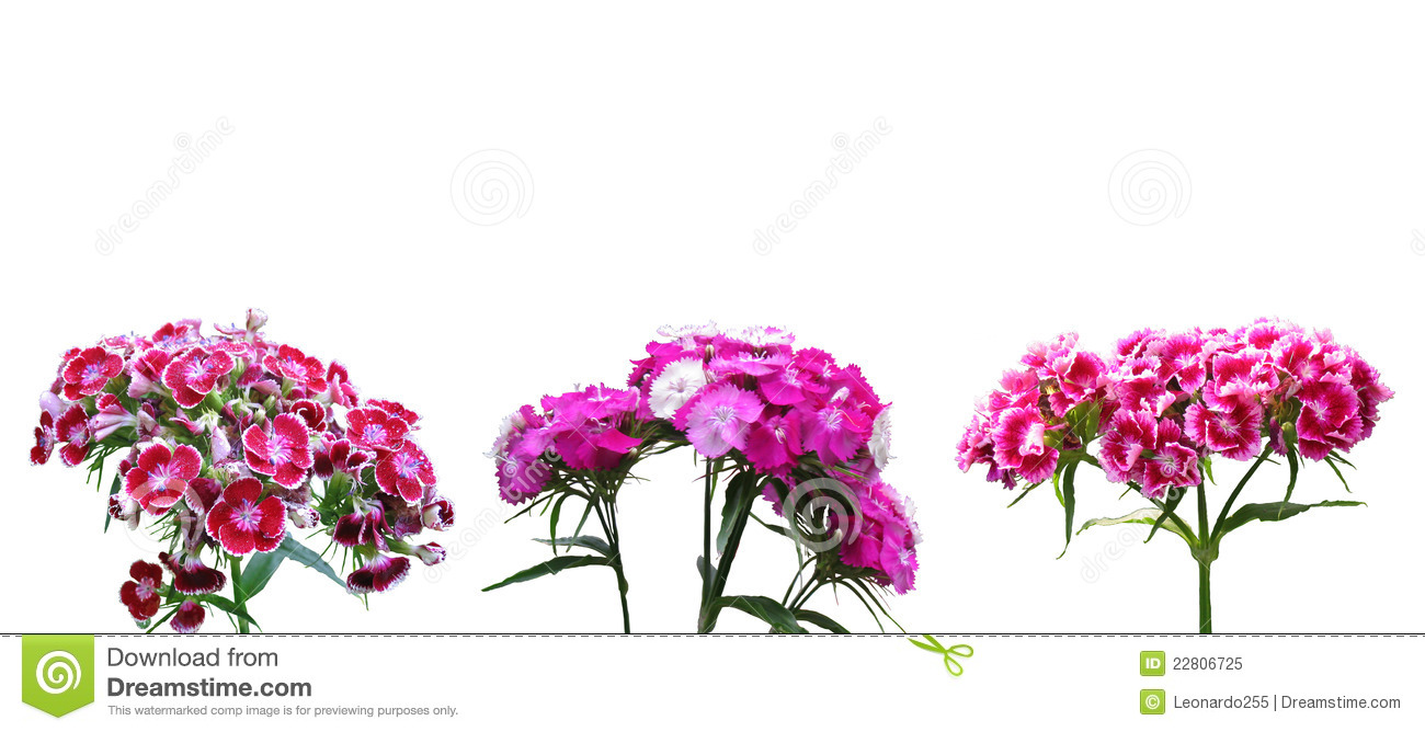 Red Dianthus Royalty Free Stock Photo.