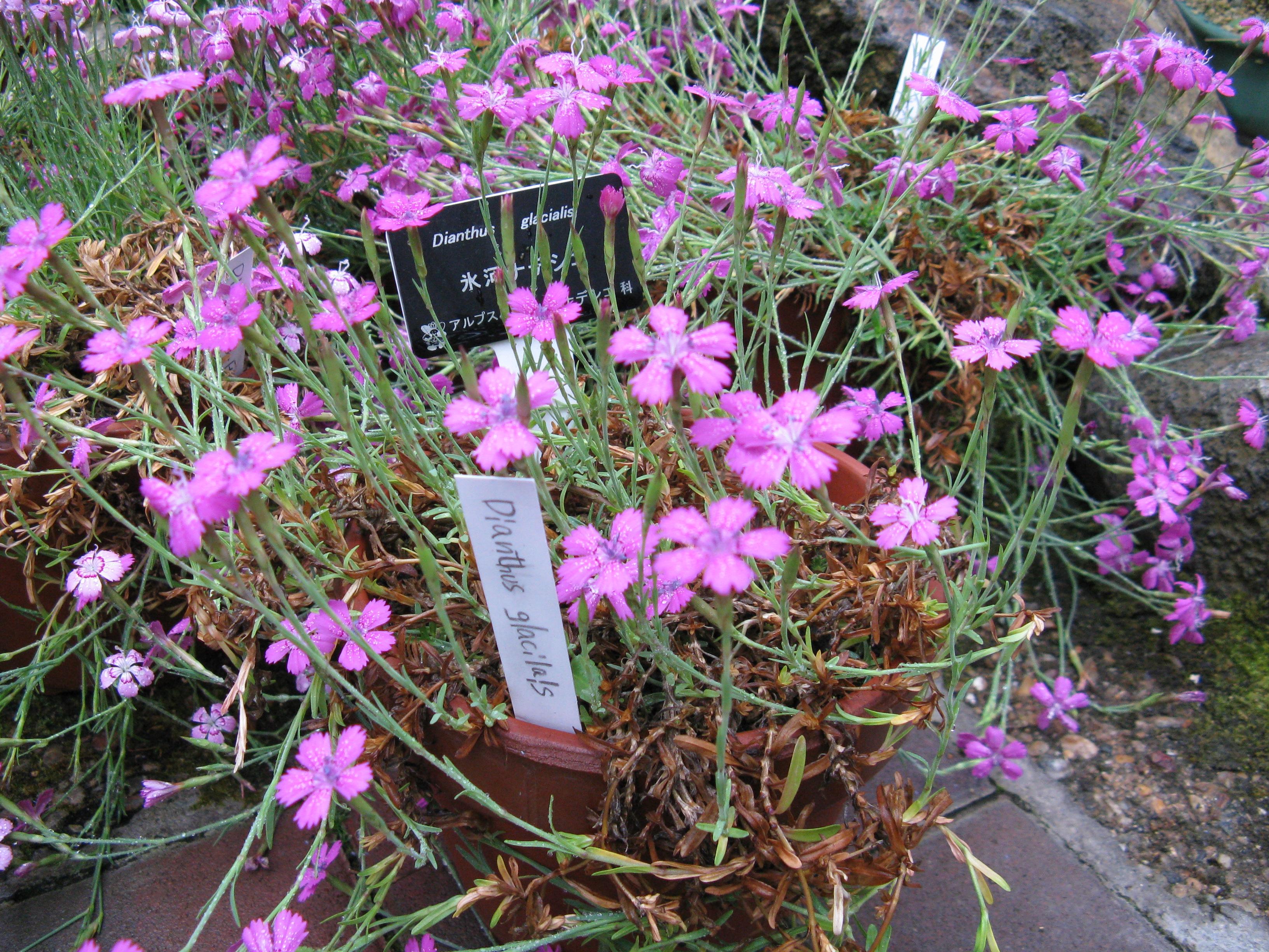 File:Dianthus glacialis1.jpg.
