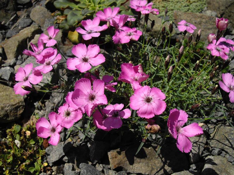 File:Dianthus neglectus 1.JPG.