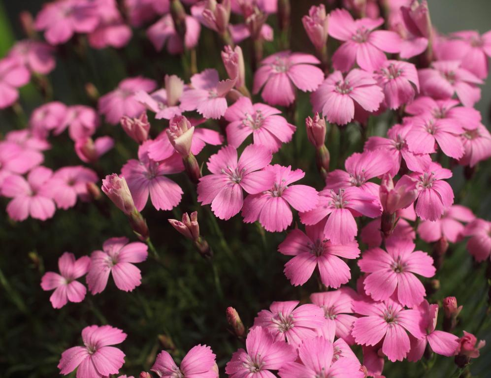 Dianthus brevicaulis Seeds £1.95 from Chiltern Seeds.