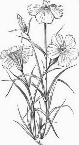 Dianthus.