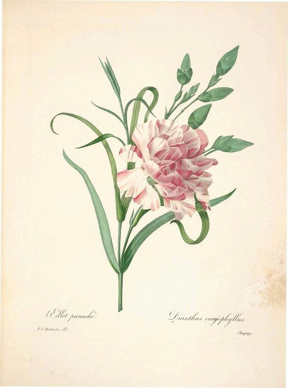 Dianthus caryophyllus and Photos on Pinterest.