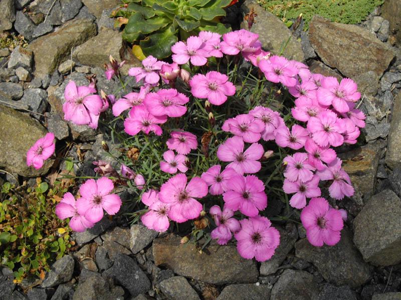 File:Dianthus neglectus 2.JPG.
