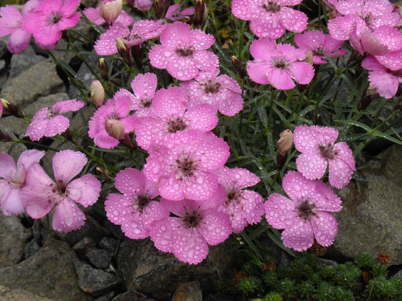 File:Dianthus neglectus 6.JPG.