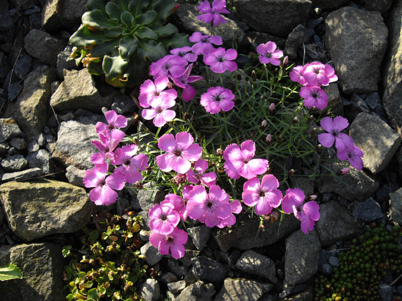 File:Dianthus neglectus 4.jpg.
