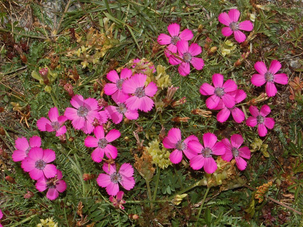 Dianthus pavonius.