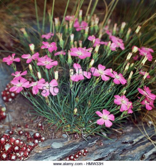 Dianthus Pavonius Stock Photos & Dianthus Pavonius Stock Images.