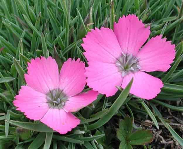 Dianthus_neglectus2.jpg.