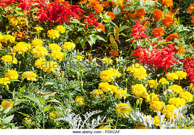 Dianthus Yellow Flower Stock Photos & Dianthus Yellow Flower Stock.