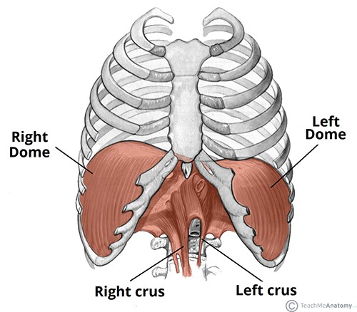 Inhale and exhale your pain away: the diaphragm muscle and how it.