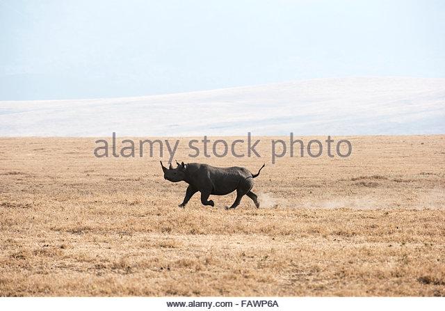 Black Rhinoceros Running Stock Photos & Black Rhinoceros Running.