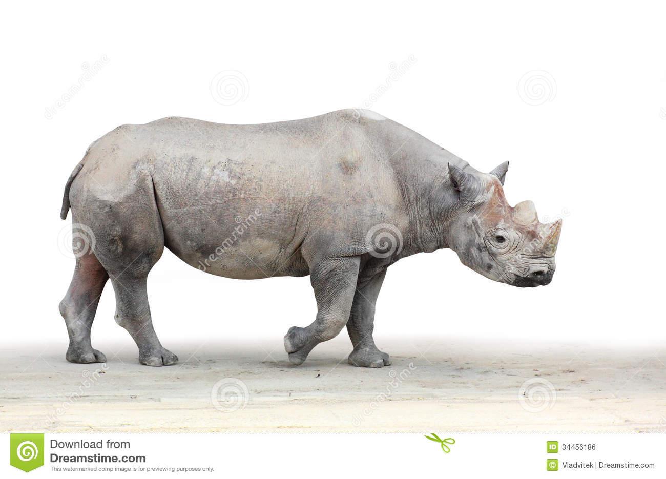 Black Rhinoceros (Diceros Bicornis) Stock Photo.