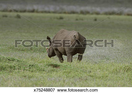 Picture of black rhino diceros bicornis male marking territory.