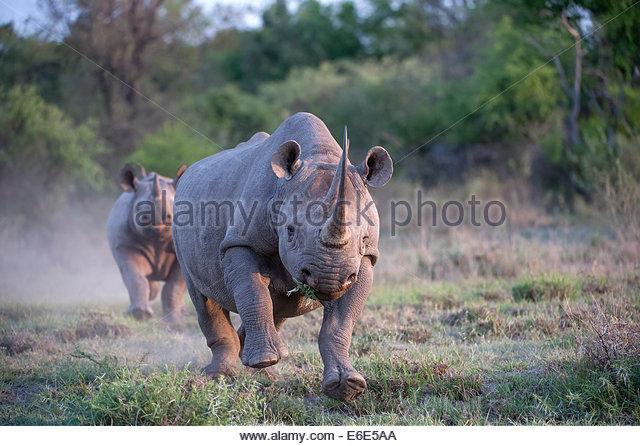 Rhinoceros Attack Stock Photos & Rhinoceros Attack Stock Images.