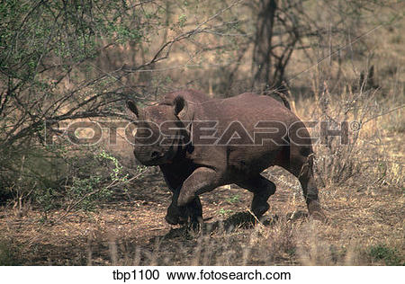 Stock Photography of A Black Rhino (diceros bicornis) charging in.