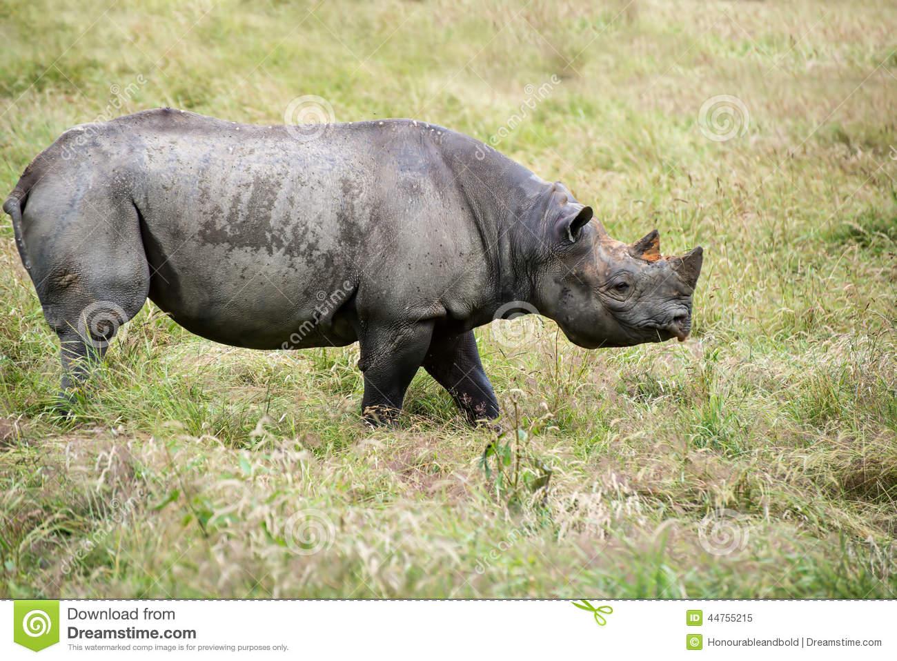 Black Rhinoceros Diceros Bicornis Michaeli In Captivity Stock.