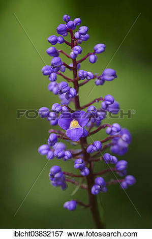 """Picture of """"Flowering Bamboo or Blue Ginger (Dichorisandra."""