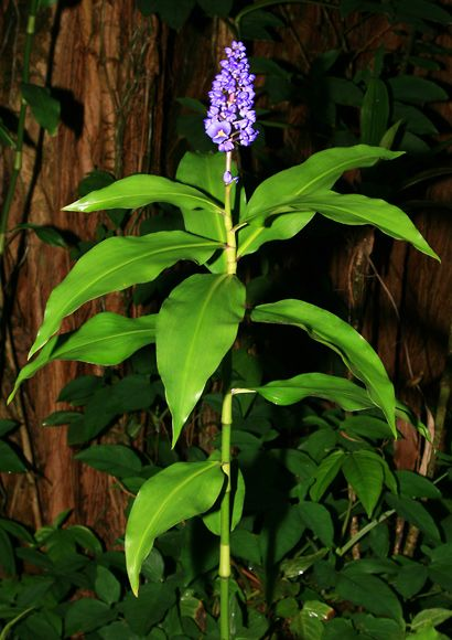 1000+ ideas about Ginger Plant on Pinterest.